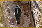 Interior West <BR>Hairy Woodpecker