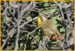 Interior West <BR>Common Yellowthroat