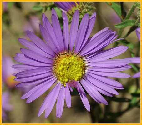 Tansey-aster