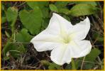 Tropical White Morning Glory
