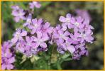 Gray Vervain