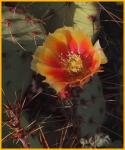 Spineyfruit Prickly Pear Cactus