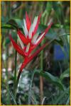 Christmas Heliconia