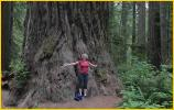 Redwoods are Huge